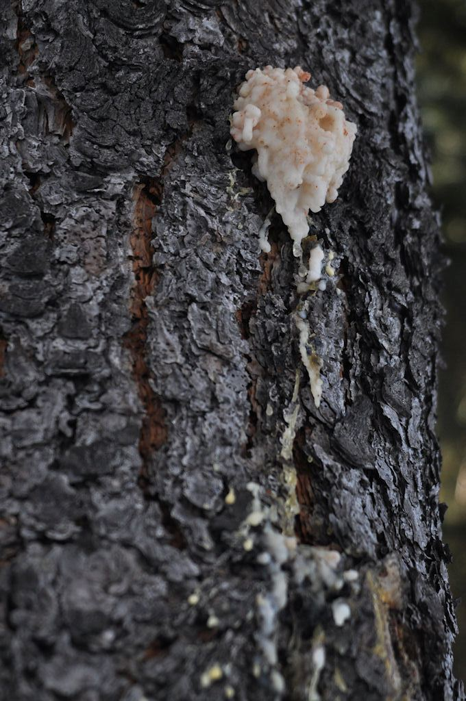 Bark Beetle Scar