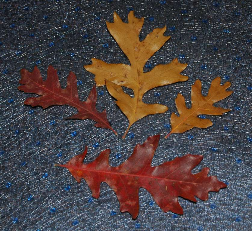 Collection of Oak Leaves