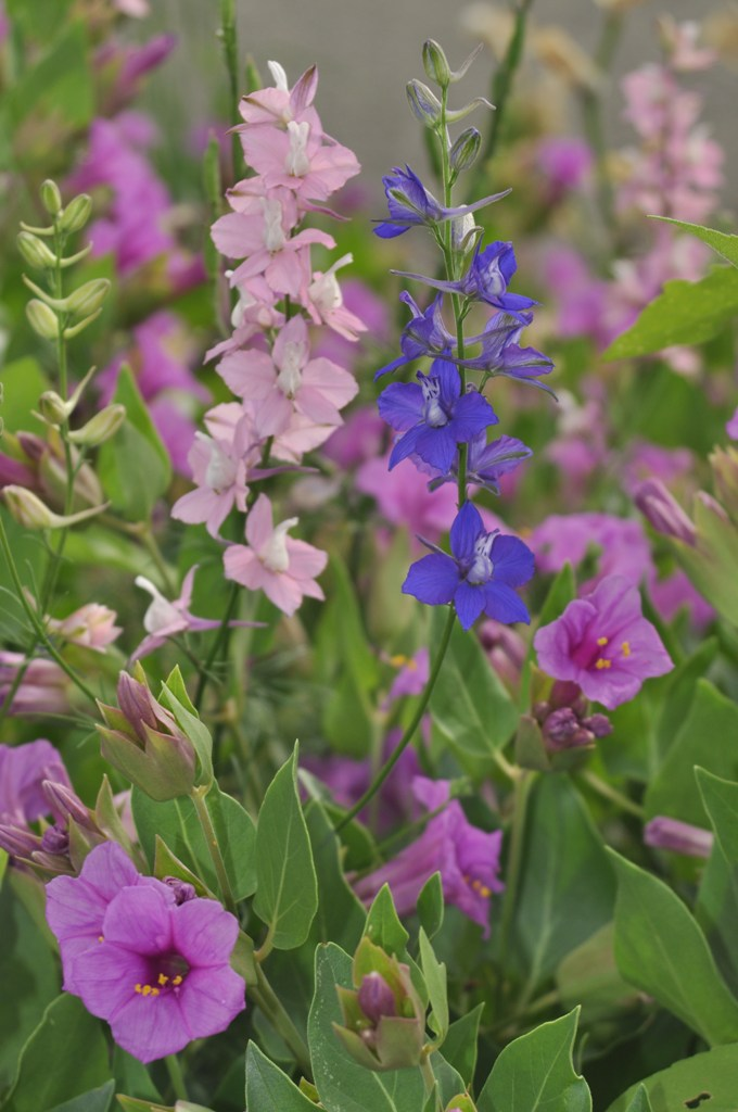 Larkspur and Four O'Clock
