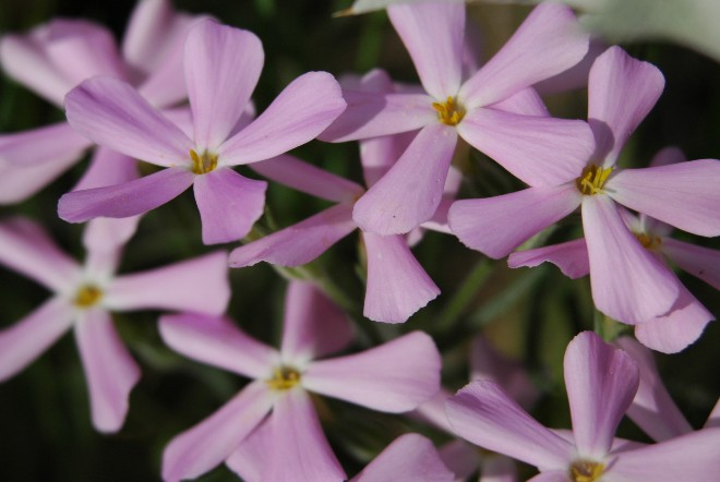 Close Up of Phlox